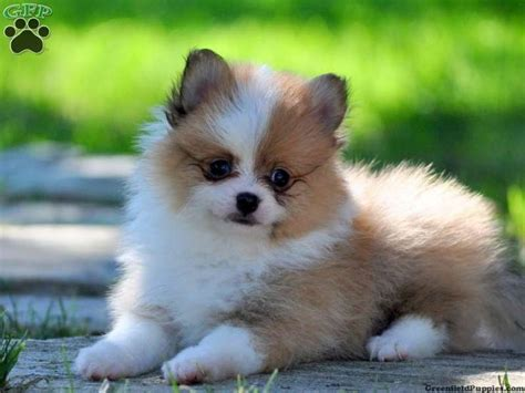 pomeranian pa simon pomeranian puppy for sale in gap pa animals puppys for sale