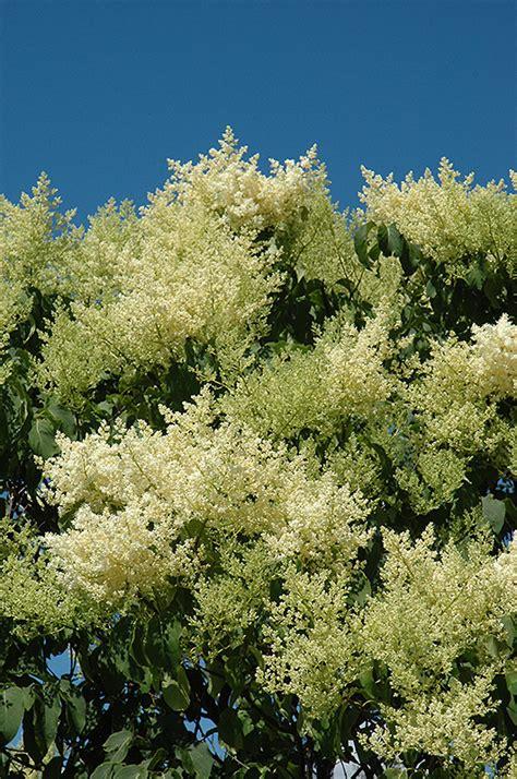 lilac tree information japanese tree lilac syringa reticulata in naperville aurora batavia oswego chicago wheaton