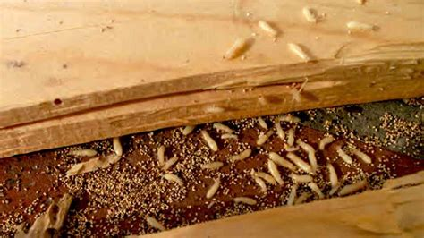 california woodworking misconceptions and confusion about termites