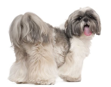 kinds of shih tzu shih tzu zdjecia breeds picture
