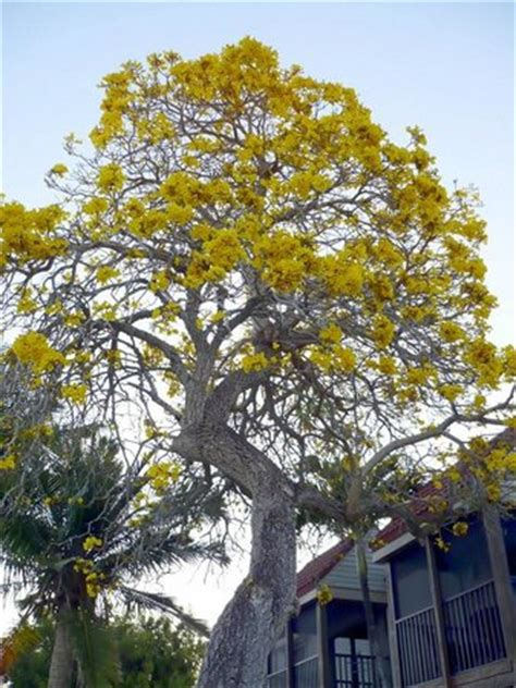 Golden Trumpet Tree Tabebuia Aurea Picture Of Sanibel Sanibel Moorings Botanical Gardens
