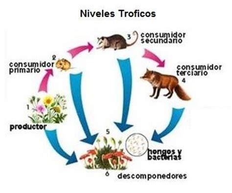 cadenas alimentarias y sus elementos cadena alimentaria y red alimentaria que son niveles y red