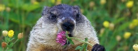 groundhog day hd happy groundhog day wallpaper hd wallpapers
