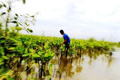 Bibit Mangrove lestarinya mangrove menghidupkan masyarakat pesisir