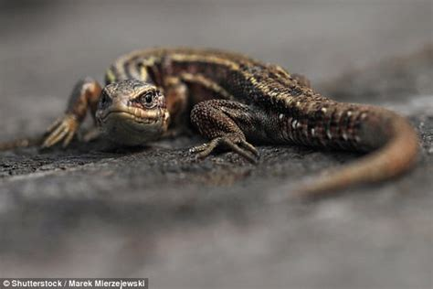 climate change could cause cold blooded animals thermal climate change threatens reptiles by killing gut bacteria