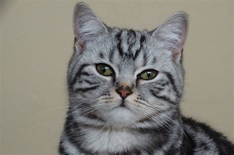 shorthair cat american shorthair cat facts