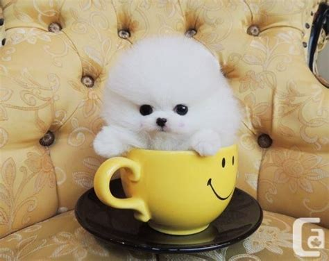 teacup pomeranians sale indiana 25 best ideas about teacup pomeranian puppy on teacup dogs pomeranian