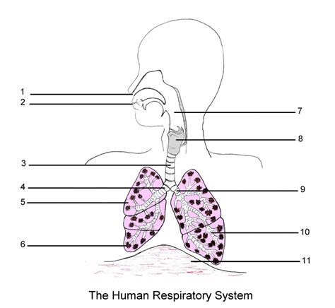 Diagram Respiratory Tract Of Earthworm Human Anatomy Picture Respiratory System Of Fosfe