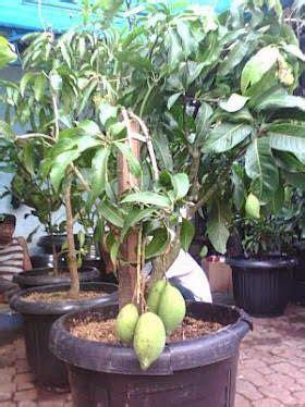 Jual Bibit Mangga Gedong Gincu Cirebon citra taman tukang pohon bibit buah jual tanaman buah