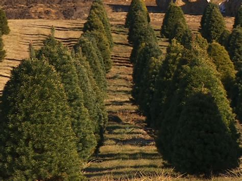 best place to cut your own christmas tree in va best places to cut your own tree in minnesota