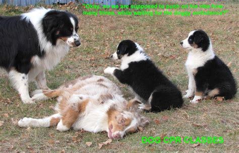 puppy cpr faithwalk aussies more photos
