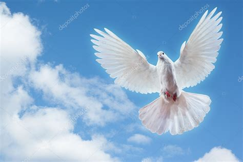 Syari Peace Blue Real Pic dove in the air with wings wide open stock photo