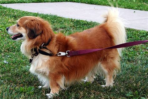 breeds mixed with golden retriever corgi cross breeds are 25 pictures