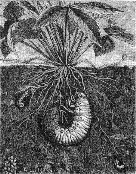 Vers Blanc Terre by Les Insectes De La Epoque Le Hannetonnage 1889