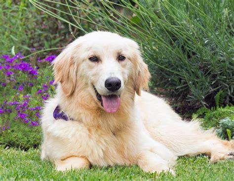 homeward bound golden retrievers korea dogs a happy update homeward bound