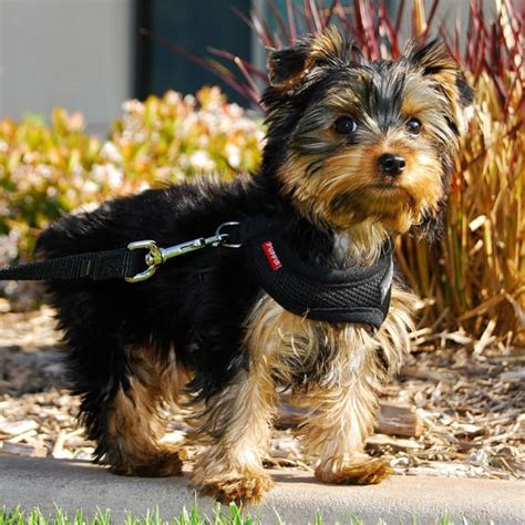 hypoallergenic dogs 28 dogs that dont shed