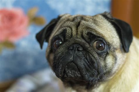 pug abuse companion animal psychology the effects of seeing animal abuse on children s mental