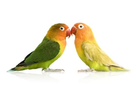 love birds pet birds info article and pictures pet yak