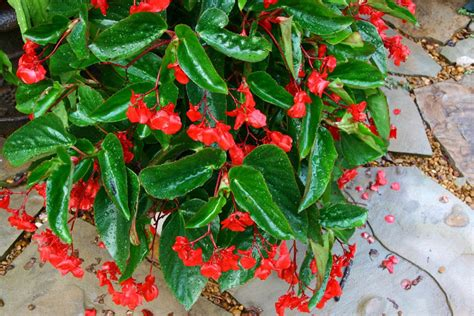dragon wing begonias a foodie affair