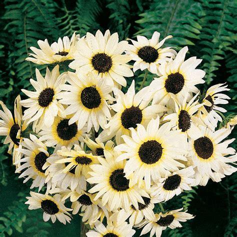 Biji Bunga Sunflower Italian White italian white sunflower seeds