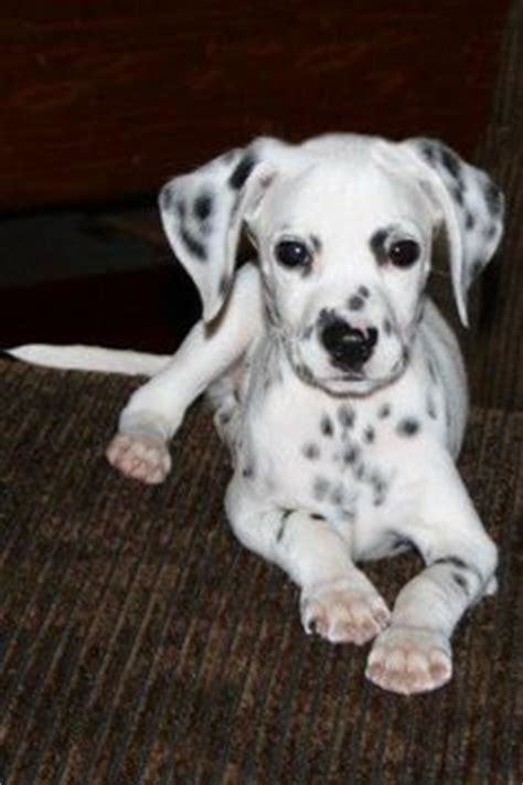 dalmatian puppies for sale in ga 1000 images about mini dalmatian i want one on miniature dalmatian
