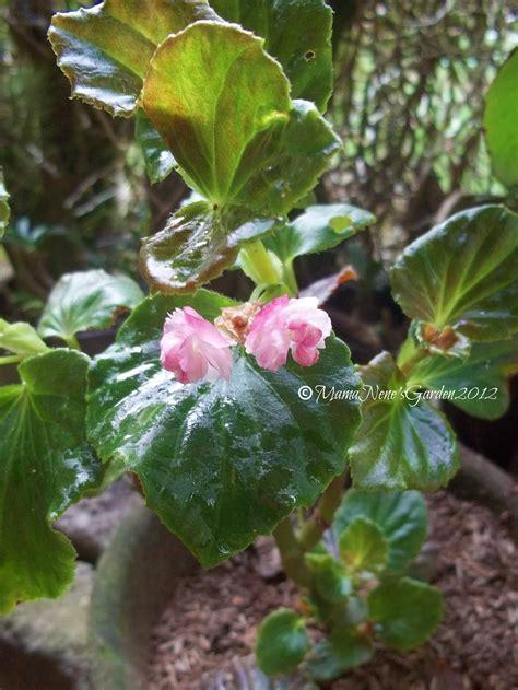 Begonia Planters by Begonia Nene S Garden