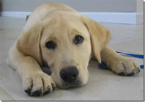 most common golden retriever names the 20 most popular puppy names puppy in