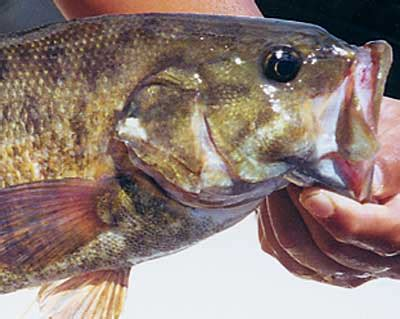 taxidermy net: smallmouth bass reference photos