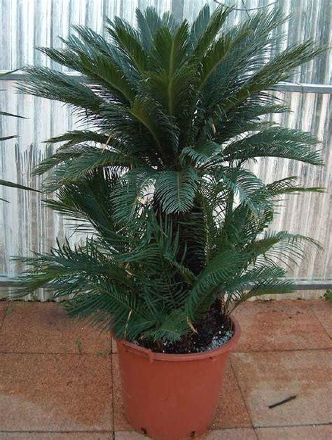 palme da terrazzo piante da vaso cycas cicas cycas circinalis cycas