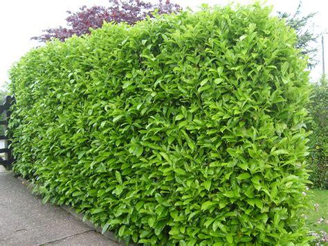 prunus laurocerasus rotundifolia hedge 5 prunus laurocerasus rotundifolia laurel x5 tean nurseries