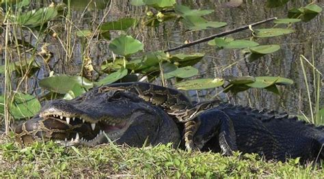 film ular vs ular wow inilah foto pertarungan ular piton vs buaya jejamo com