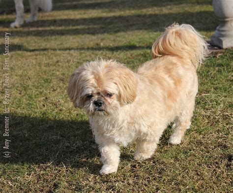 what size crate for shih tzu senior gentleman shih tzu here s bailey adopted beaver creek farm sanctuary