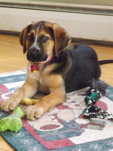 german shepherd lab mix puppies german sheprador breed 187 learn about german shepherd