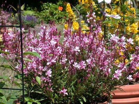 new eden pride of place plants gaura lindheimeri pink lady
