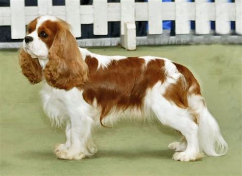 How Long Is A Standard Couch by Cavalier King Charles Spaniel 187 Information Pictures Amp More