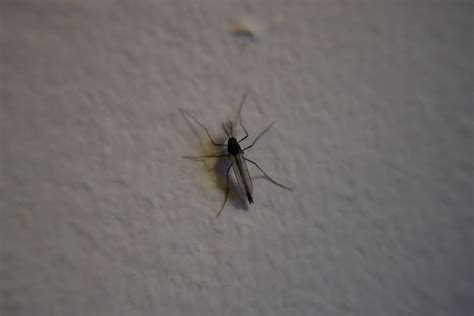Small Flying Insects At Home House
