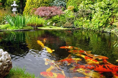 backyard fish pond maintenance koi pond cleaning koi fish care info