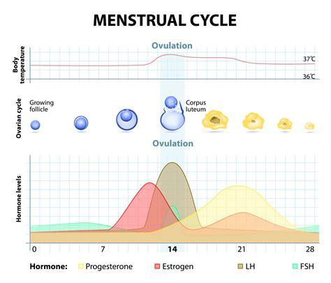 Training & Recovery During Your Menstrual Cycle Female Period Cycle