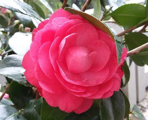 immagini fiori giapponesi hanakotoba il linguaggio dei fiori tradurre il giappone