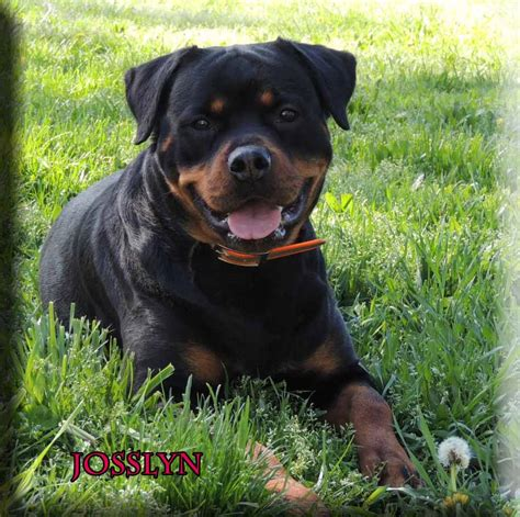 german import rottweilers rottweiler breeders rottweiler puppies for sale german rottweilers for sale