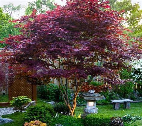 maple tree planting spacing bloodgood upright japanese maple new nursery