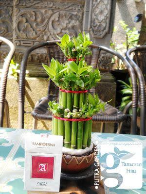 putra garden bali tanaman hias bambu rejeki mini unik