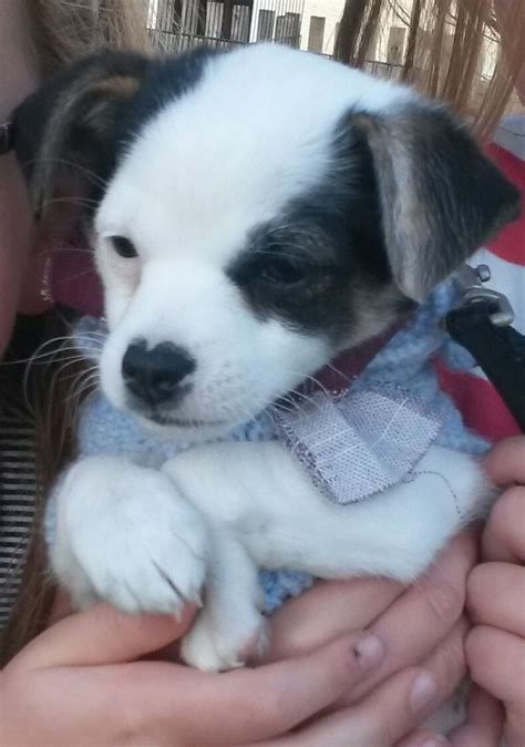 jackhuahua puppies for sale in us stunning jackhuahua puppy for sale minehead somerset