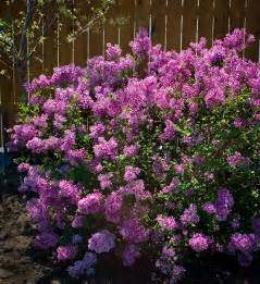 purple lilac bloomerang purple lilac the tree center