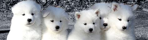 samoyed puppies for sale az puppy application white magic samoyeds in brookfield ct