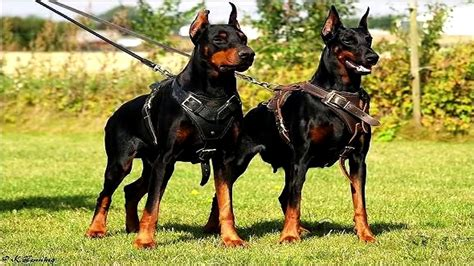 top 10 strongest dogs world strongest www pixshark images galleries with a bite