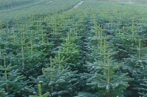 christmas tree farm for sale oregon christmas decore
