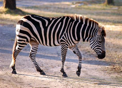 quagga software wikipedia file equus quagga boehmi disney s animal kingdom lodge