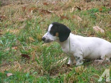 pug and dachshund mix for sale mini dachshund and pug mix for sale in pigeon forge tennessee classified