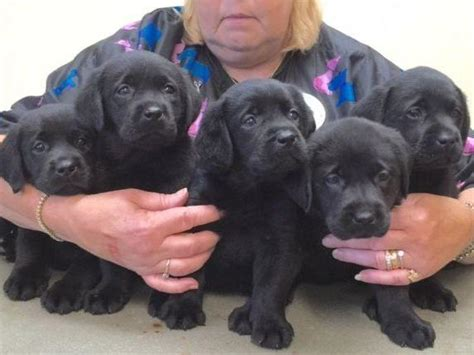 akc labrador puppies labrador retriever for sale by belquest american kennel club